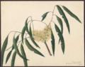 Eucalyptus viminalis by Susan Fereday.png