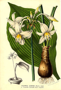 Eucharis candida[1]