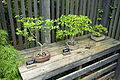 Euonymus alata, Carpinus turczaninowii, & unlabelled bonsai - Dawes Arboretum - DSC02998.JPG
