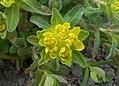 Euphorbia 2015-04-16 317b.jpg