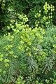 Euphorbia amygdaloides kz03.jpg