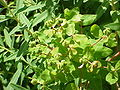 Euphorbia palustris1.jpg