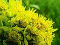 Euphorbia palustris Zazymya2.jpg