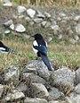 Eurasian Magpie (Pica pica bactriana) (15700606948).jpg