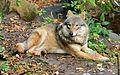 Eurasian Wolf in Skansen Zoo 1.jpg
