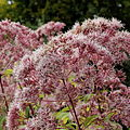 Eutrochium purpureum-IMG 6153.jpg