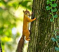 Evropska veverica (Sciurus vulgaris) Eurasian red squirrel.jpg