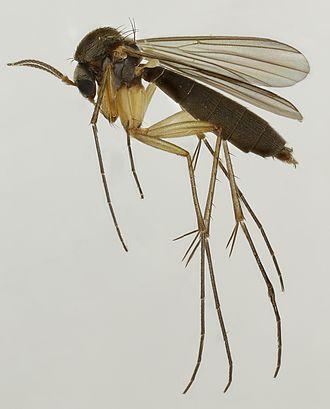 Mycetophilidae - Exechia spinuligera