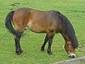 Exmoor Pony Cotswold Farm Park.jpg
