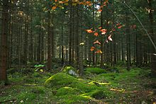 Coniferous forest on the isle of Mattön, in the northeast of the park