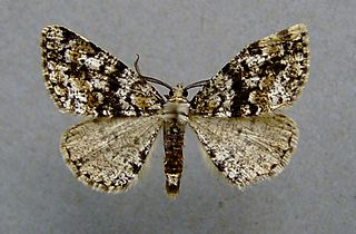 <i>Fagivorina arenaria</i> Species of moth