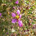 Fagonia laevis 4.jpg