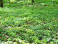 Fagus sylvatica 017.jpg