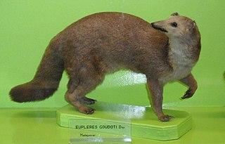 Eastern falanouc species of mammal