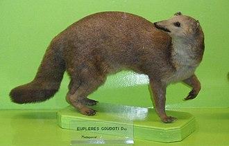 Eupleres - E. goudotii