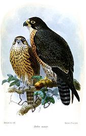 Sottospecie F.p.minor, in un'illustrazione di Keulemans, 1874