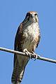 Falco berigora -Phillip Island, Victoria, Australia-8.jpg