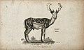 Fallow deer. Etching by Heath. Wellcome V0021233.jpg
