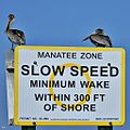 Feathered Guardians of the Manatee Zone (12875611885).jpg