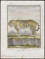 Felis tigris - 1700-1880 - Print - Iconographia Zoologica - Special Collections University of Amsterdam - UBA01 IZ22100105.tif