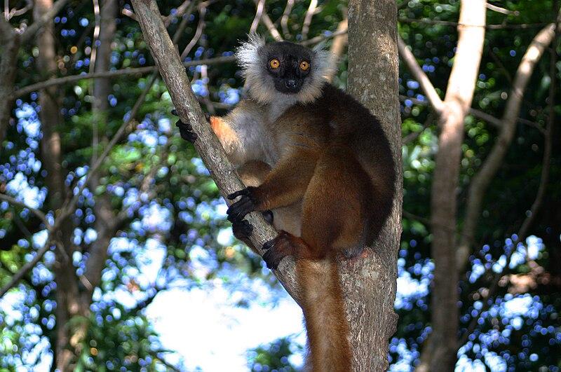 File:Female Black Lemur,Eulemur macaco at Madagascar.jpg