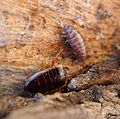 Female Cockroach with newly birthed youngster. - Flickr - gailhampshire.jpg