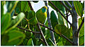 Female Jerdon's Leafbird (Chloropsis jerdoni) - Dharani Prakash.jpg