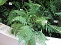Fern in Botanical Garden, Brno.jpg