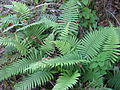 Ferns - Mount Gurungue (10313155513).jpg