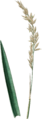 Festuca rubra L. (from Curtis, 1827, Vol 5 pl. 157) cleaned.png