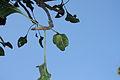 FicusKrishnae.JPG