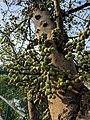 Ficus racemosa 09.jpg