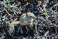 Field Rodent (29058399).jpeg