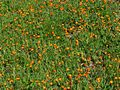 Field of Orange Hawkweed (3815351525).jpg