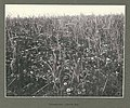 Field of wild strawberries, Yakutat Bay, Alaska, June 1899 (HARRIMAN 76).jpg
