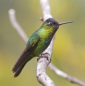 Fiery throated Hummingbird JCB3.jpg