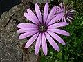 Fleur 1 14062005.jpg