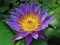 Fleur de nenuphar.jpg
