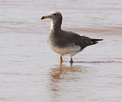 Flickr - don macauley - Laridae standing in sea water.jpg