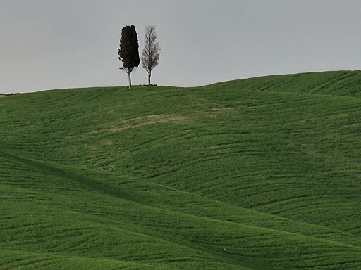 Cypress trees in the Val d'Orcia