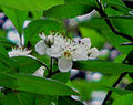 Flor de tejocote Xocomanatlan.JPG
