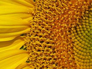 Flowers open in succession in a flower head