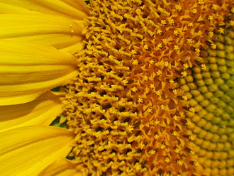Pseudanthium - Image: Flower head