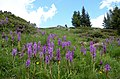 Flower power (a group of Orchidees) near Montchavin in the French Alps - panoramio.jpg