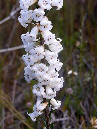 Swamps of the Blue Mountains - Flowering heath Elvina track