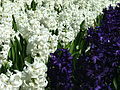 Flowers at Floriade 2004.JPG
