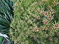 Flowers at Kirstenbosch botanical garden, Cape Town 09.jpg