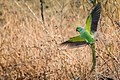 Flying Rose Ringed Parakeet.jpg