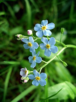 Forget-me-nots. Forget-me-nots in the woodland...