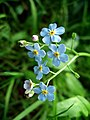 Forget-me-nots - geograph.org.uk - 195892.jpg
